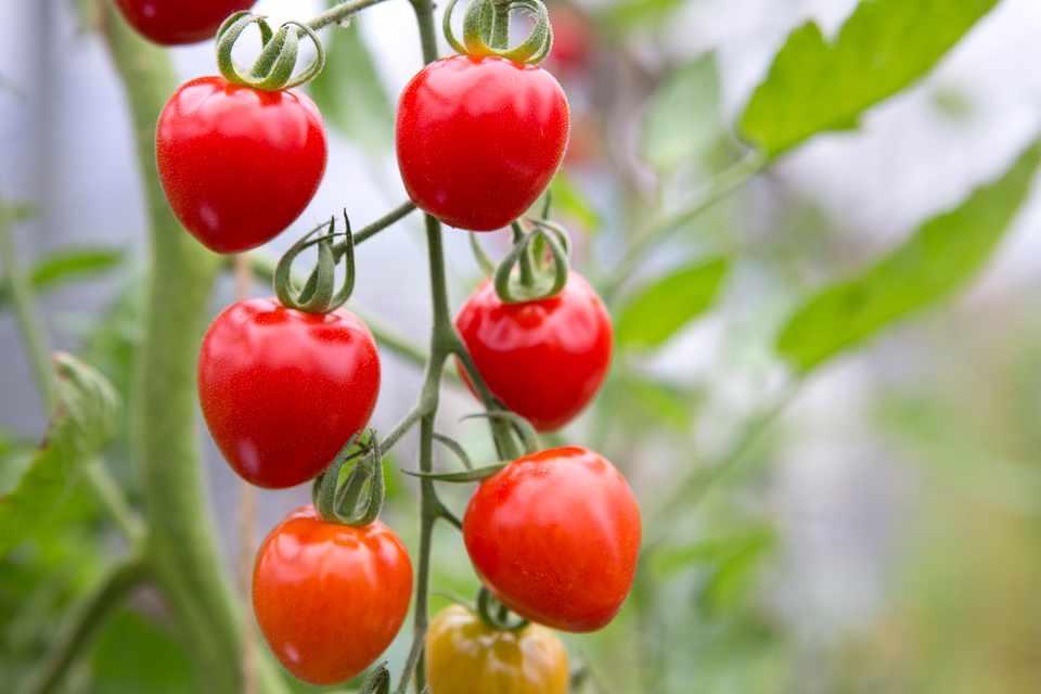 Vine tomatoes ripening