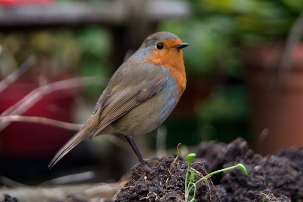 A robin perched on a clod of earth in a garden