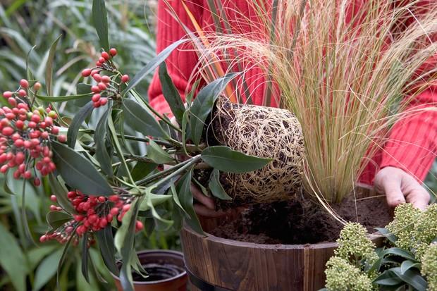 Skimmia pot display - planting the plants