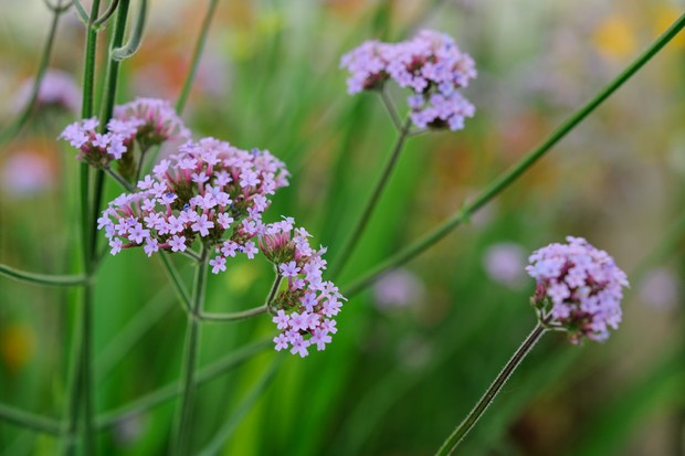 Tall-stemmed, purple <em>Verbena bonariensis</em> flowers