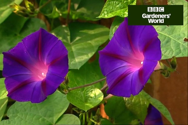 How to grow annual climbers in a pot