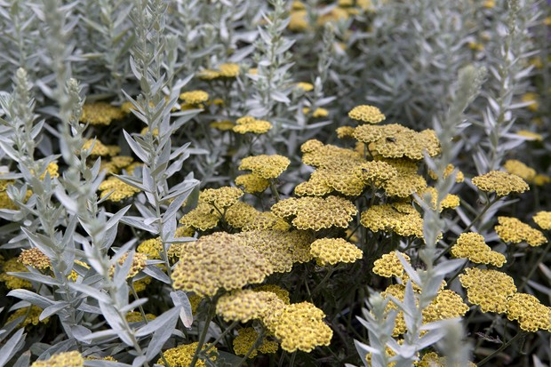 Silver foliage and yellow flowers of artemisia