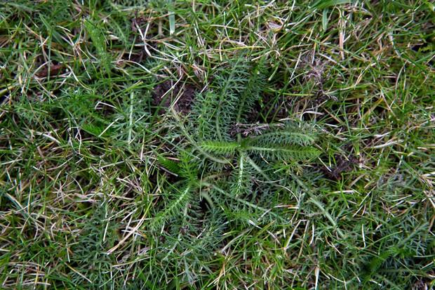yarrow-growing-in-a-lawn-2
