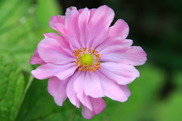 A pink Japanese anemone bloom