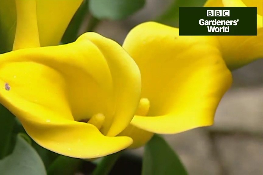 How to grow marginal pond plants in a pot video