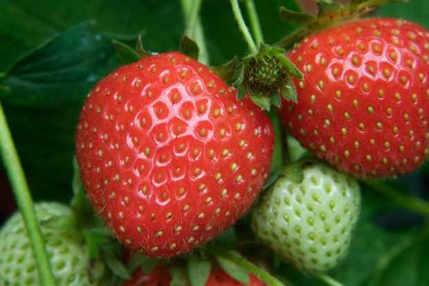 strawberry-christine-2