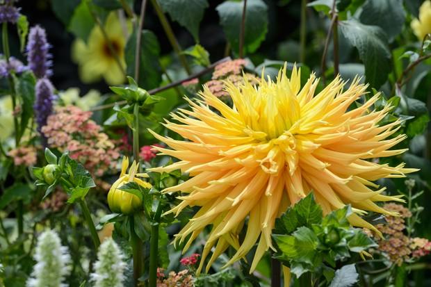 Yellow-orange bloom of 'Dame Deirdre' semi-cactus dahlia