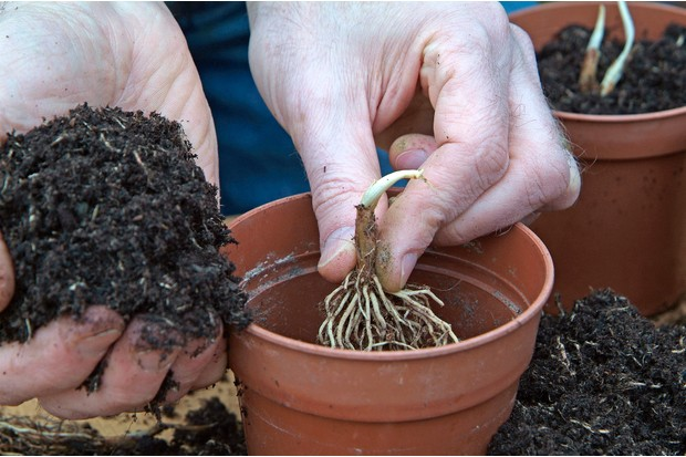 Planting lily of the valley bulbs in pots