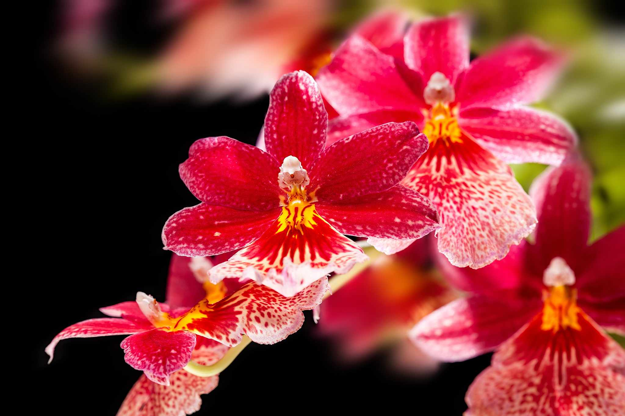 Cambria orchid. Credit: Getty Images