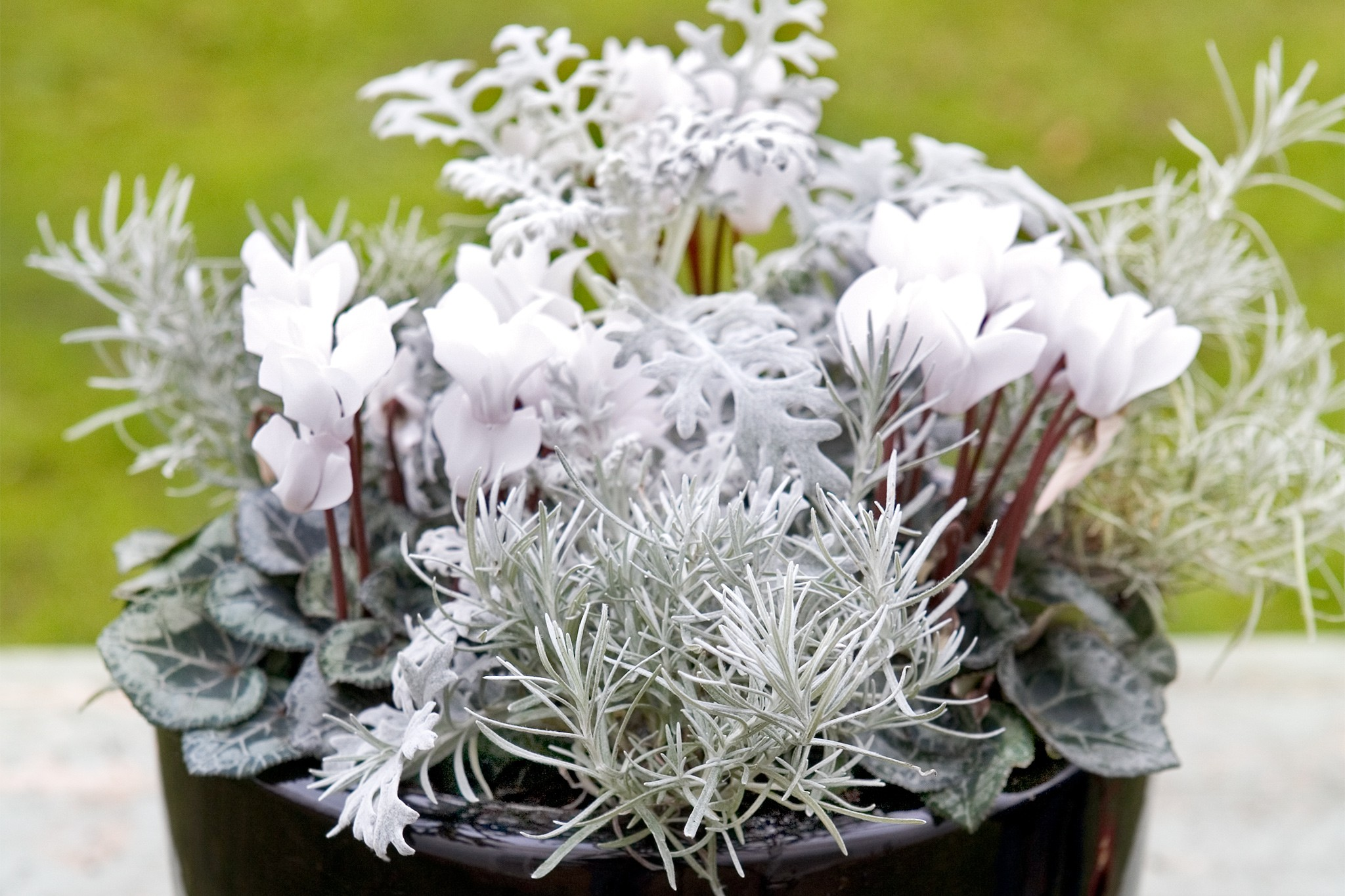 Plants with silver foliage