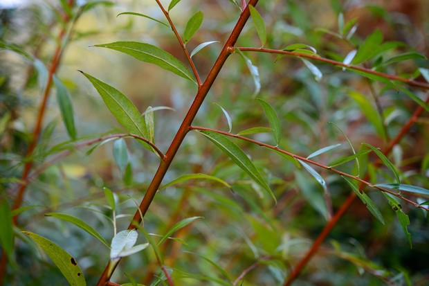 salix-vitellina-britzensis-foliage-and-stems