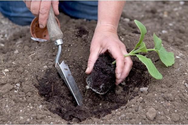 transplanting-pumpkin-plants-3