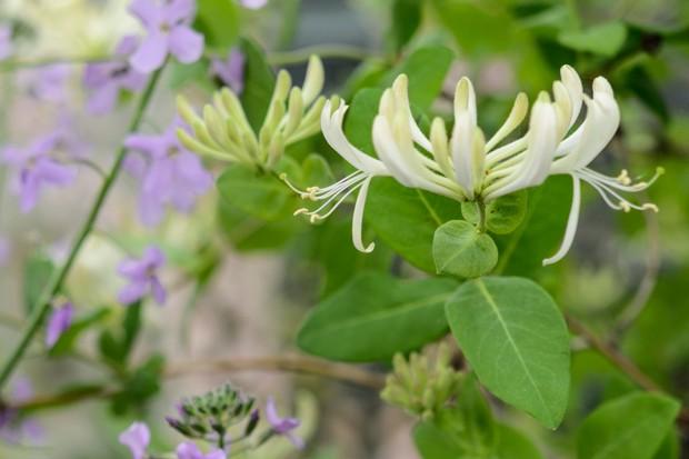 honeysuckle-in-flower-2