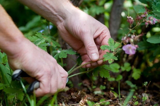 Deadheading a spring-flowering plant