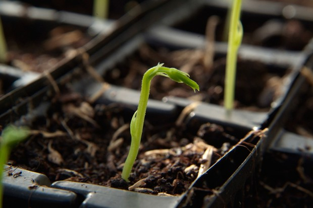 How to plant pea seeds - pea seedling