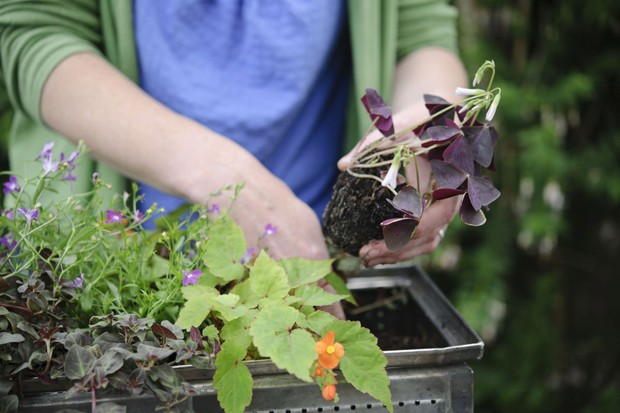 Planting the oxalis