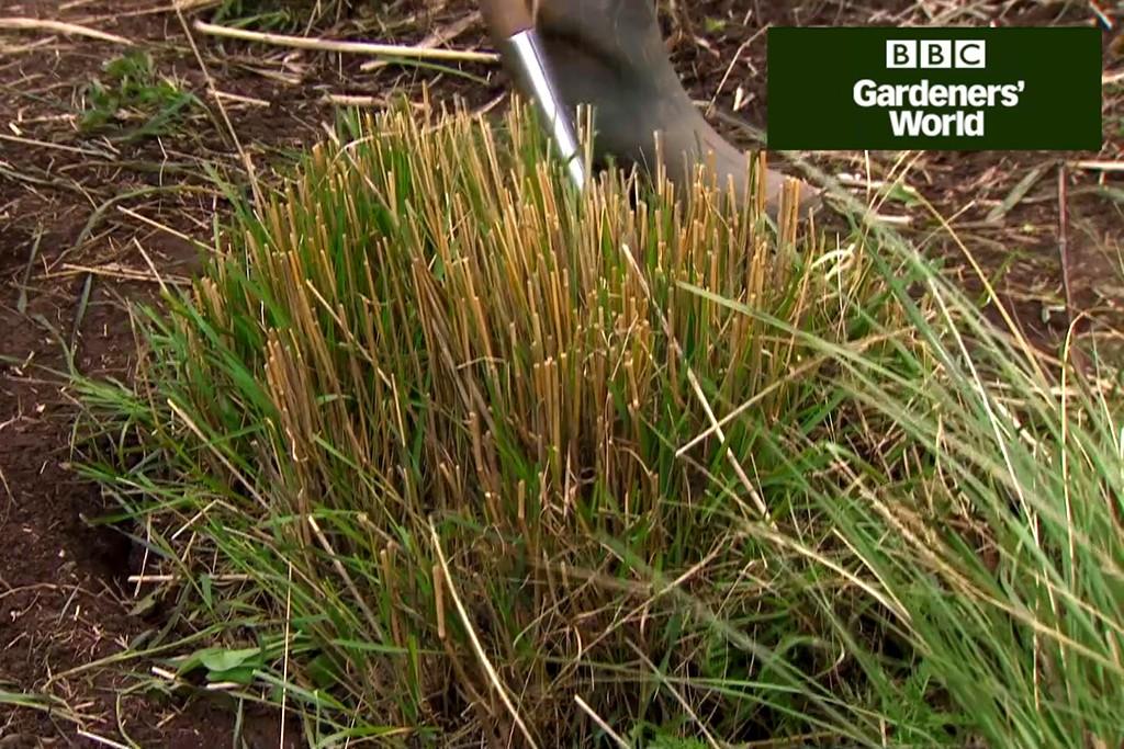 How to split ornamental grasses video