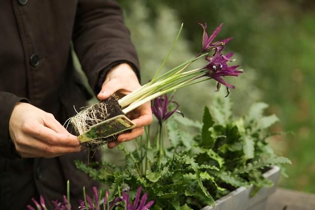 Planting the irises