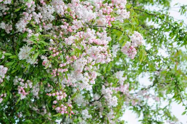 crab-apple-blossom-2