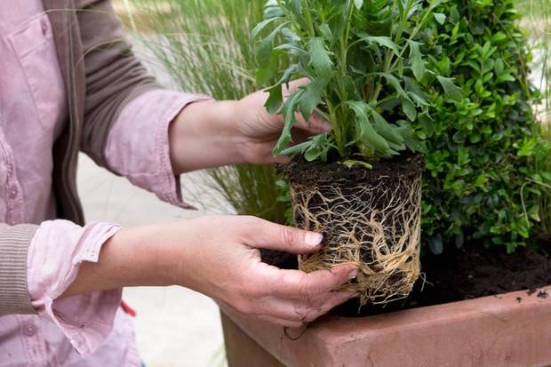 Planting the osteospermum
