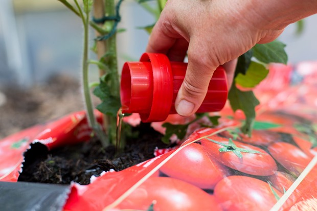 Pouring a capful of tomato feed beside a plant in a grow-bag