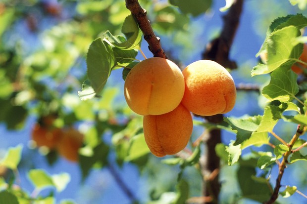 Apricot 'Blenheim' fruit ripe on the tree (photo: Getty Images)