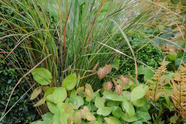 pheasants-tail-grass-anemanthele-lessioniana-and-epimedium-x-rubrum-2