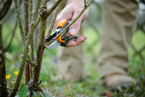 pruning-a-shrub-rose-3