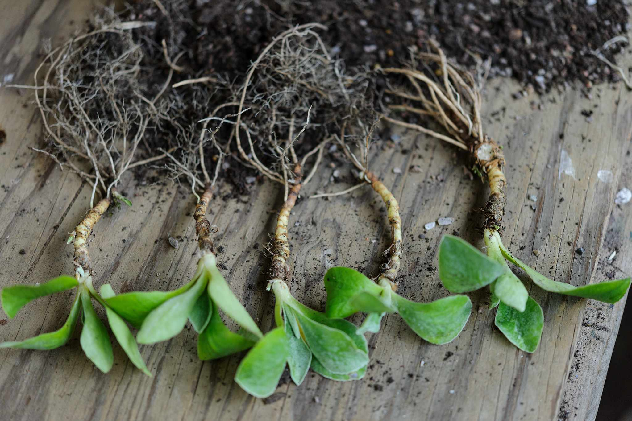 Divisions of auricula plants ready for replanting