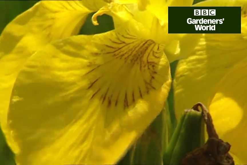 How to plant flag irises in aquatic baskets
