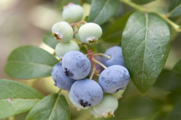 blueberries-6