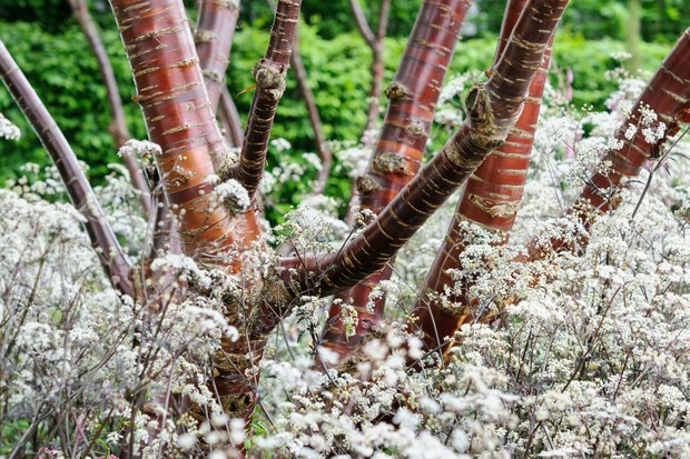 Coppery Tibetan cherry branches amidst frothy white flowers of purple cow parsley