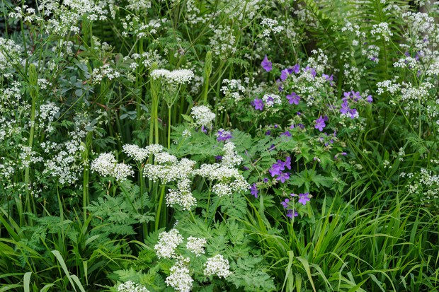 White flowers of sweet cicely