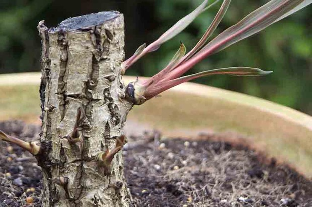 When can I prune a cordyline?