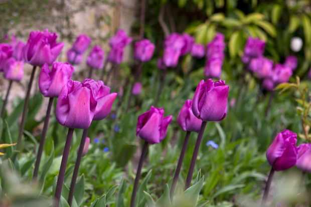 swathe-of-spring-tulips