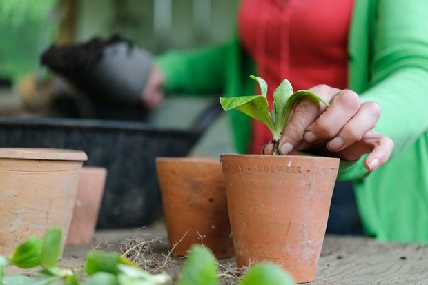 Planting each offcut into a terracotta pot