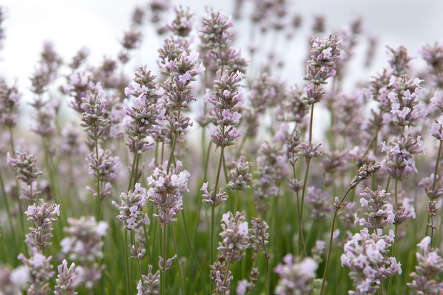 Best lavenders to grow - 'Lady Ann'
