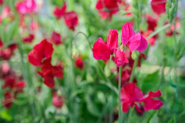 Wavy-edged bright red flowers of Lathyrus odoratus 'Lipstick'