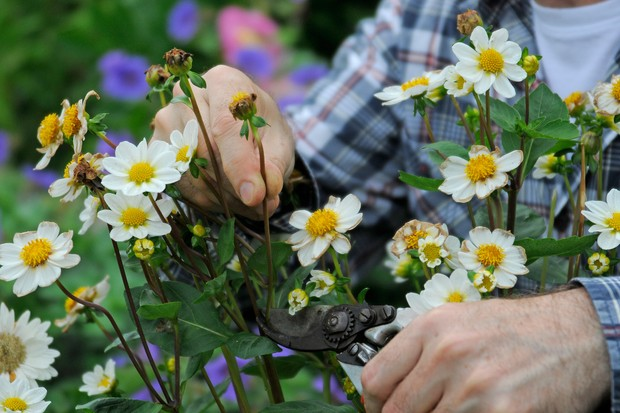 Snipping off dead flowers with secateurs