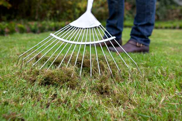 Raking moss from a lawn