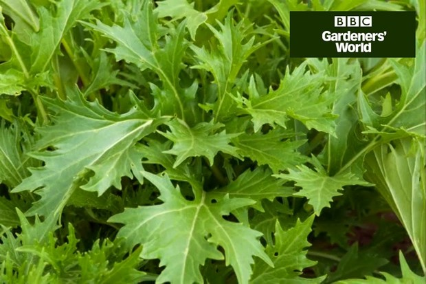 Sow Japanese and Chinese salad leaves for winter