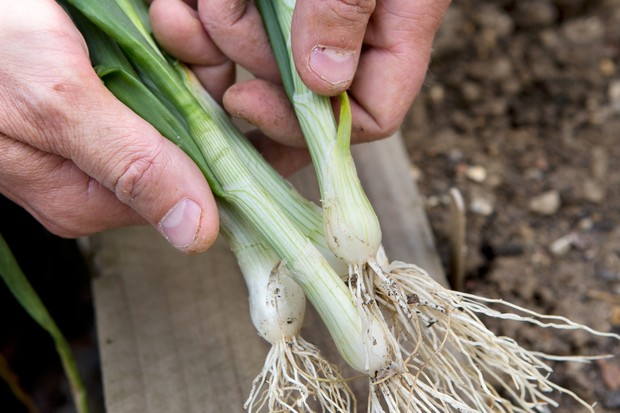 spring-onions-bunch-3