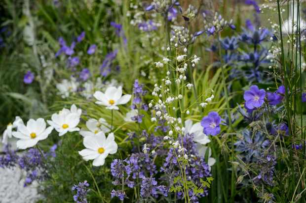 White cosmos and thalictrum with blue nepeta and hardy geranium