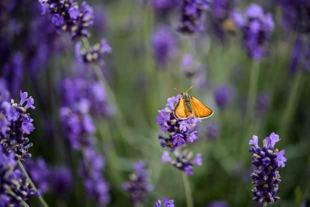 best-shrubs-for-butterflies-lavandula-angustifolia-2