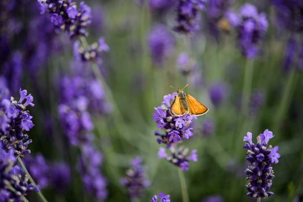 best-shrubs-for-butterflies-lavandula-angustifolia-2