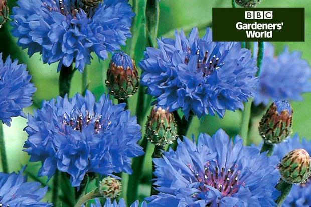 How to sow annuals in borders