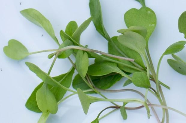 spinach-microgreens-2