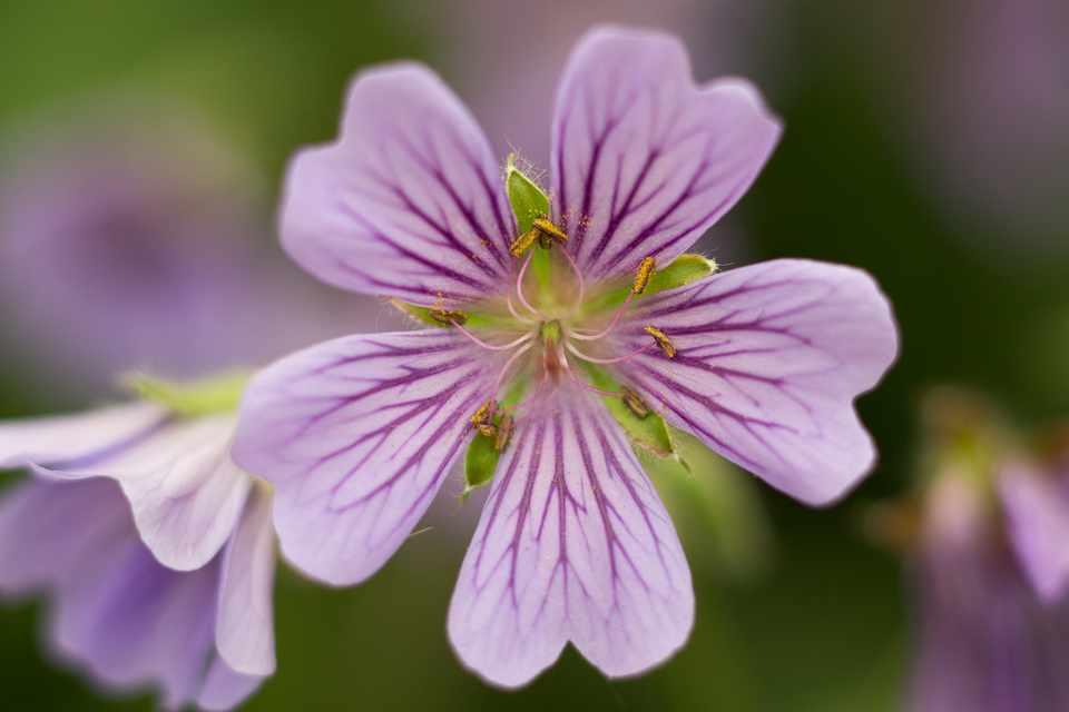 Mauve flowers of hardy Geranium 'Stephanie'