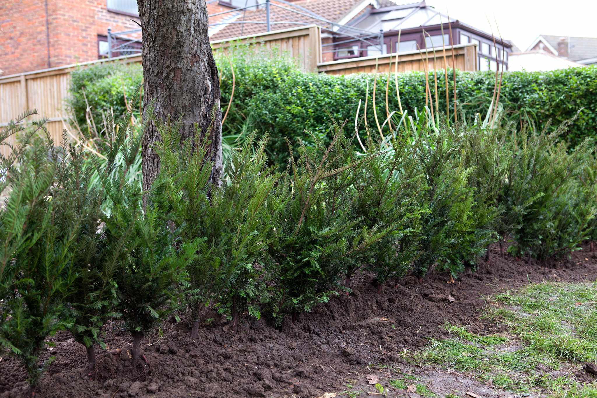 Yew (Taxus baccata) hedges