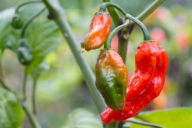 chilli-bhut-jolokia-3